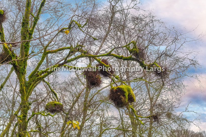 Birds Nests High up in the Trees covered in Moss