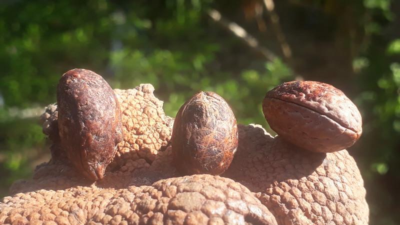 Elaeocarpus from Kew & 3 island seeds