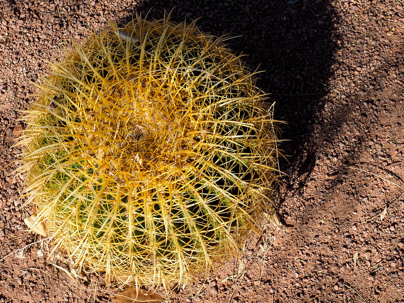 Cactus at Red Hills Desert Garden