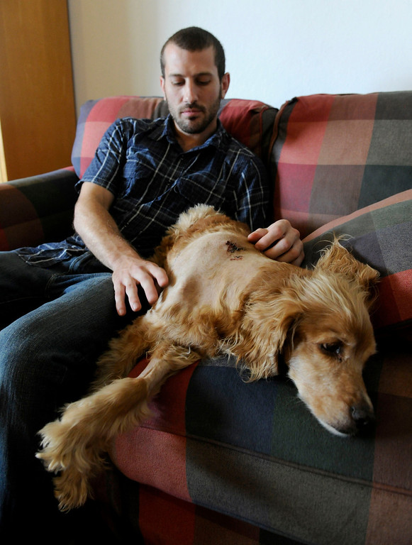 . Kirby, 13, a cocker spaniel retriever mix, recovers at home with owner  Zach Grimm in Concord, Calif., on Monday, June 24, 2013. Kirby was in the backyard while police were looking for a prowler. He barked at an officer that entered the yard and was shot. Grimm is angry at the police and says he would like an apology. (Susan Tripp Pollard/Bay Area News Group)