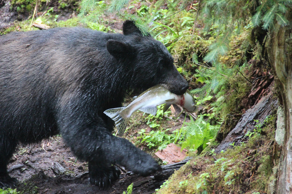. A black bear walks away with a caught fish in his teeth for his meal. (photo credit: © NGT )