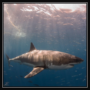 Great White Sharks of Guadalupe Island Gallery