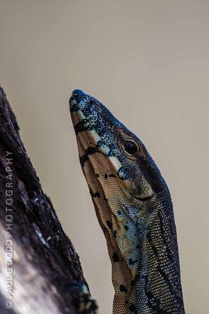 Lace Monitor (Goanna)