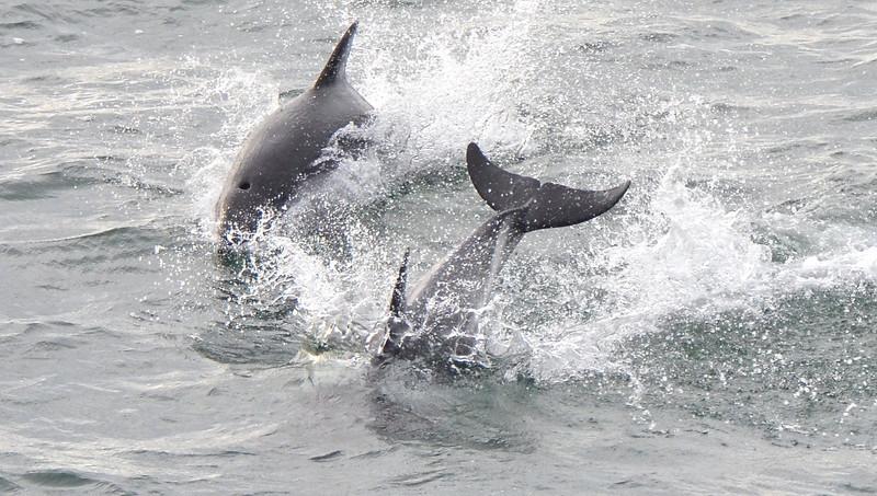 2012 Karukinka 2 porpoises.jpg