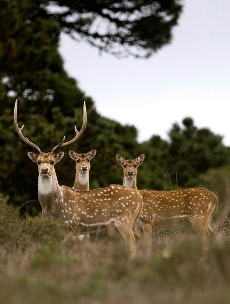 Axis Deer, Point Reyes National Seashore