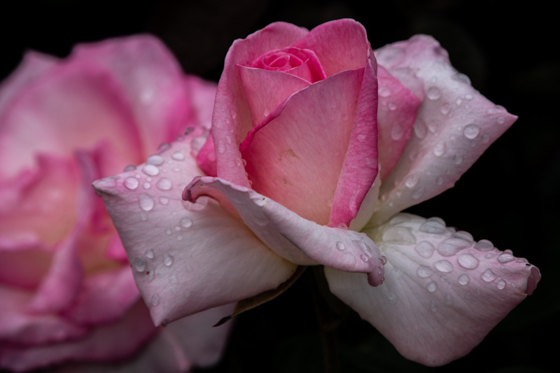 May 1 - May Day rose on a rainy day.jpg