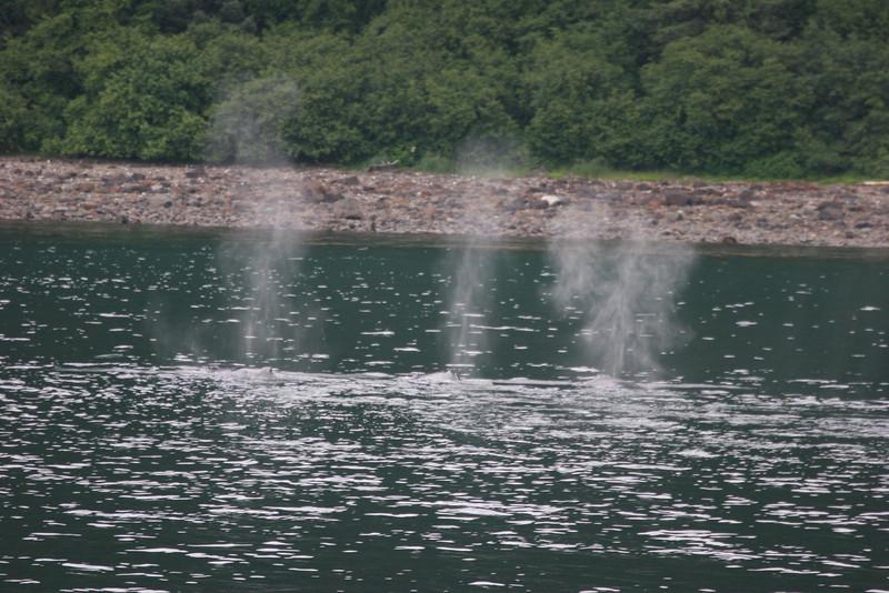 humpbacks blowing