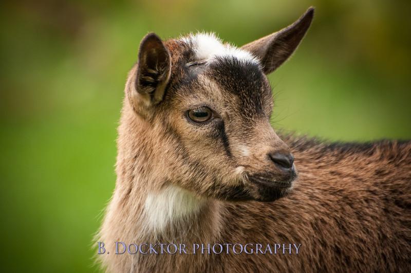 1310_Nigerian dwarf goats_107.jpg