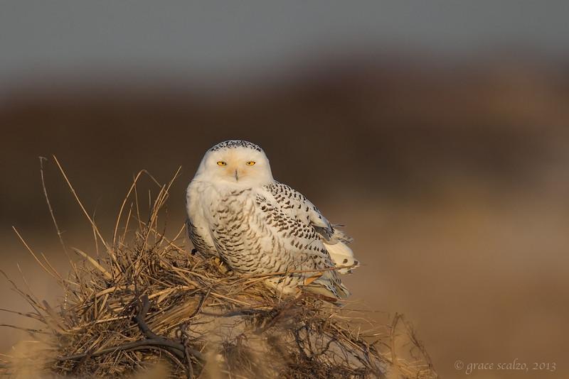 Snowy Owl _O8U1544-Edit.jpg