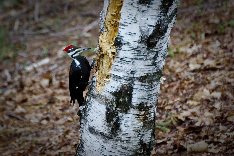 Backyard woodpecker (4 of 7)
