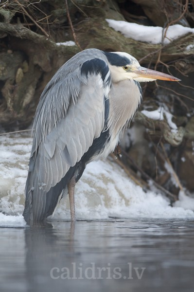 Grey Heron in winter