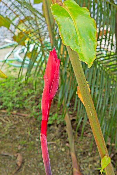 Ginger flower opening