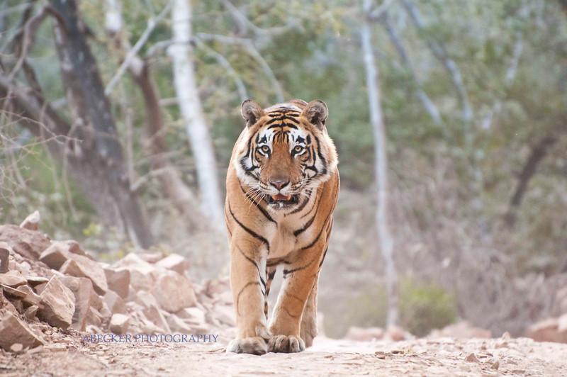 Tiger on road.jpg