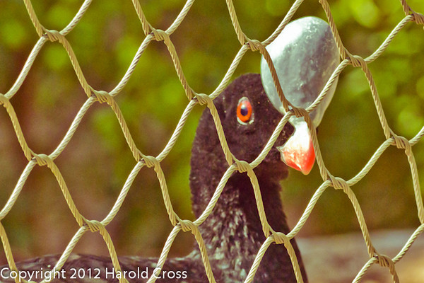 Northern Helmeted Curassow