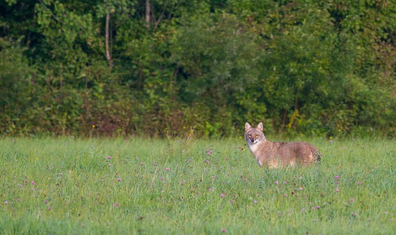 Coyote MN123 near Askov MN IMG_2781.jpg