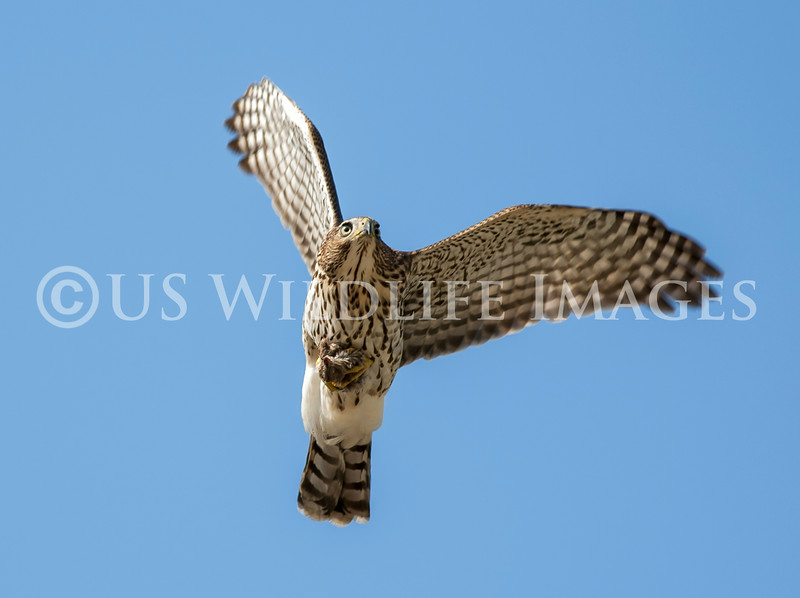 Cooper_Hawk_With_Prey_2P8E7294.jpg