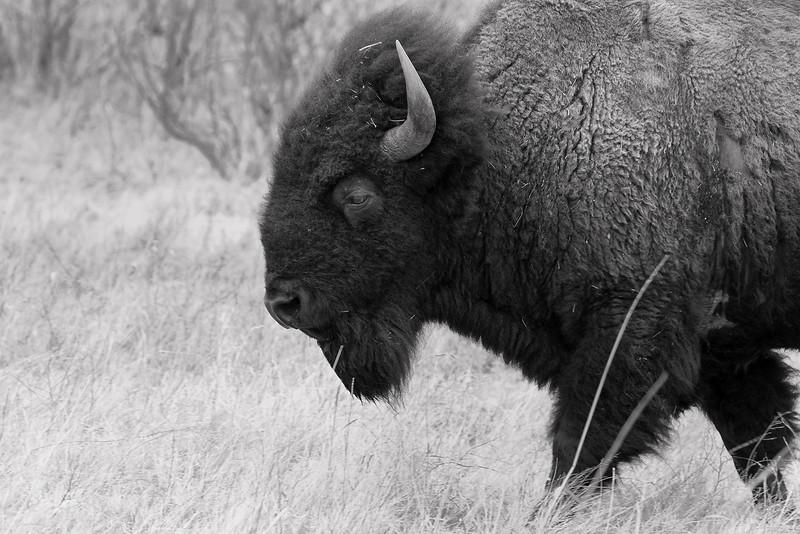 American Bison-9