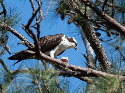 Ospreys, North Carolina 2021