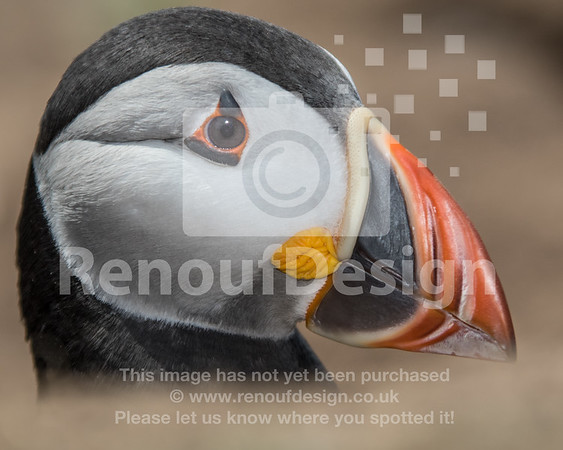 Puffins and Pembrokeshire