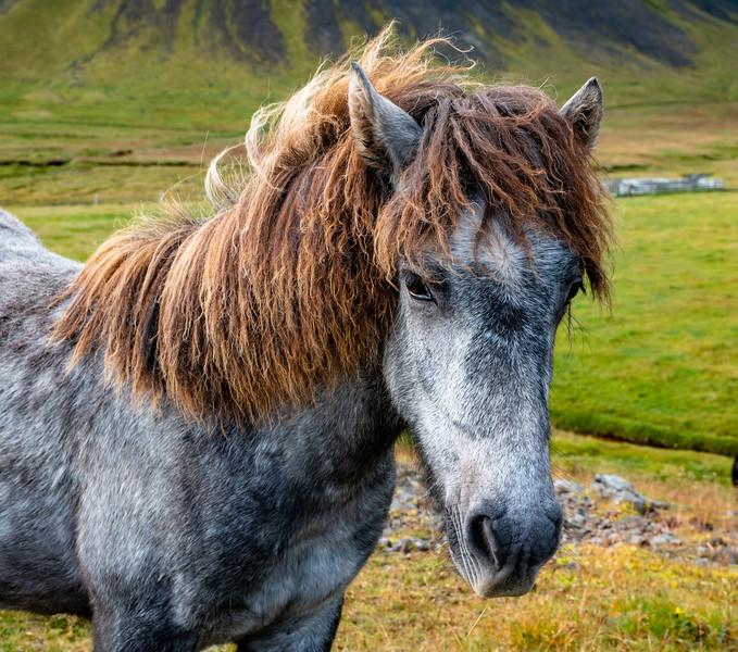 Icelandic horse 1 lg (1 of 1).JPG