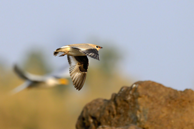 Small-Pratincole-flight.jpg