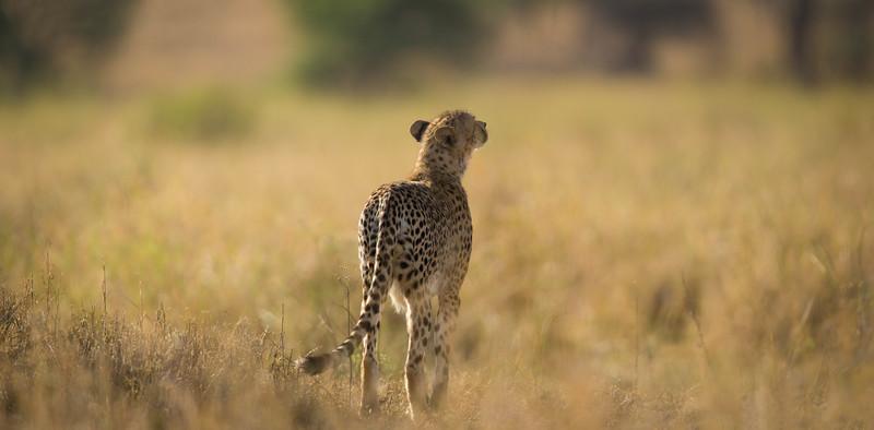 Cheetah sniffing for prey, Serengeti National Park