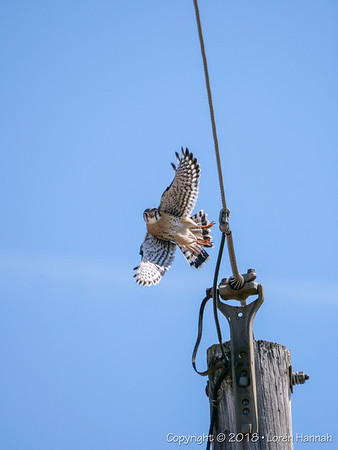 3/18/18 Local Raptors - Lake County, IL