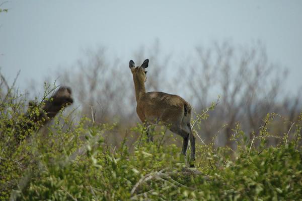 Kruger Klipspringer