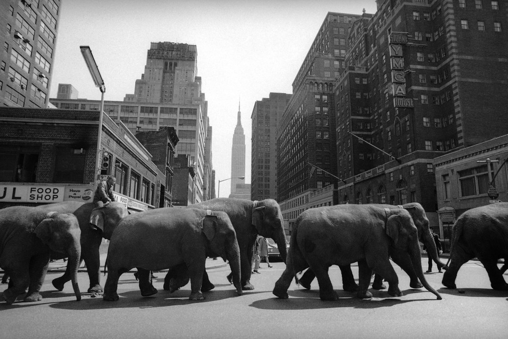 . Elephants parade towards Madison Square Garden in New York City on April 2, 1968, where the Ringling Brothers Barnum and Bailey Circus opens the same night. The elephants were part of a herd of 17 which will appear at the Garden. (AP Photo/John Lindsay)