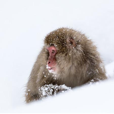 Wild Japan in Winter