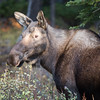 Moose - Kananaskis