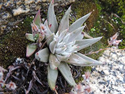 Lance-leaved Dudleya (Dudleya lanceolata)