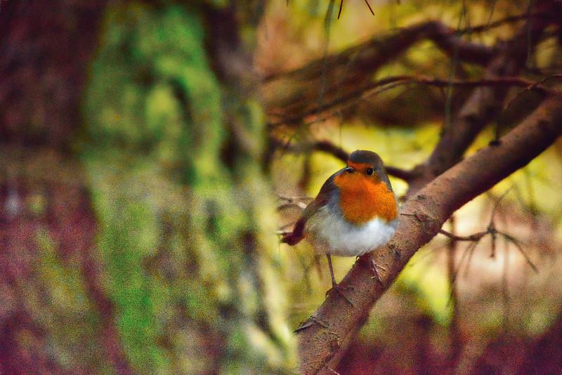 Robin on a tree.jpeg