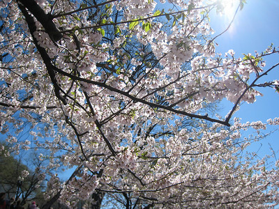 Cherry Blossoms in DC 2009