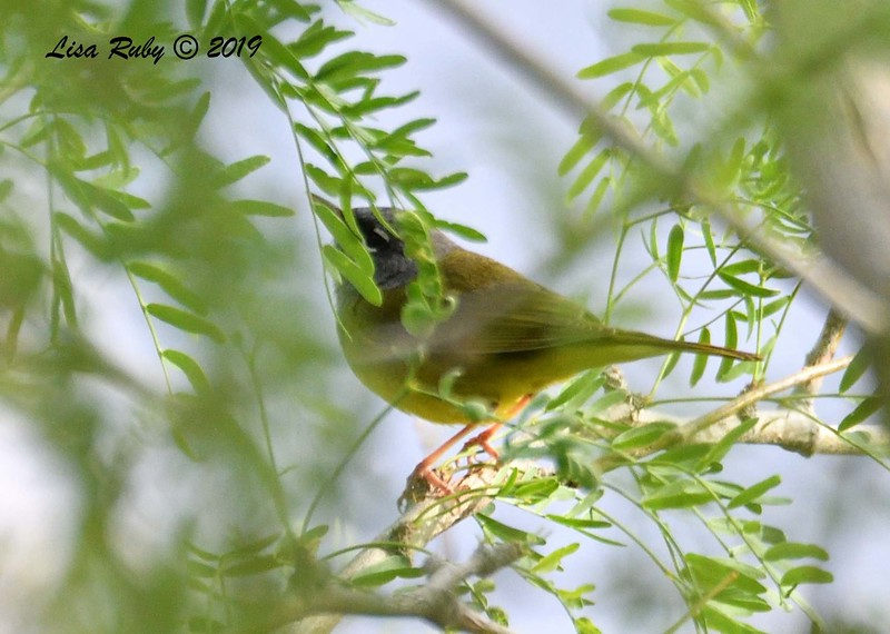 MacGillivray's Warbler  - 4/15/2019 - Agua Caliente County Park Campground