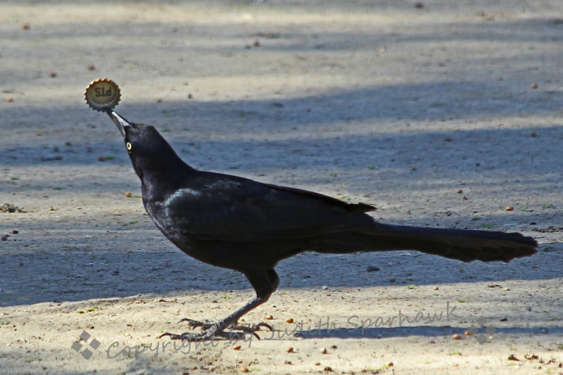 Great-tailed Grackle With His Treasure ~ This grackle snatched the bottlecap from two other birds and flew away.  It wasn't until I had the image on the computer screen that I saw what the prize was.  I thought it made a funny picture.