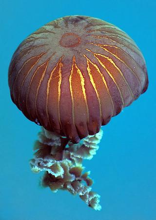 Guernsey cnidaria