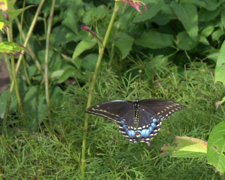 Black swallowtail.jpg