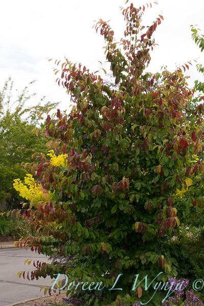 Parrotia persica_3951.jpg