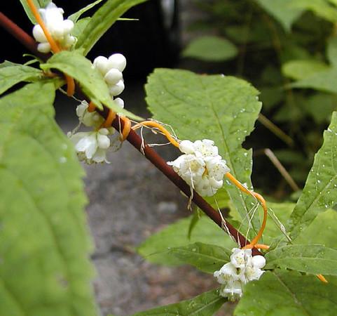 Beaked Dodder or Love Vine blooms along Heintooga-Roundbottom Road, NC It can be seen all along the Blue Ridge Parkway as mats of orange vines. Cuscuta rostrata  Cuscutaceae 8/4/07