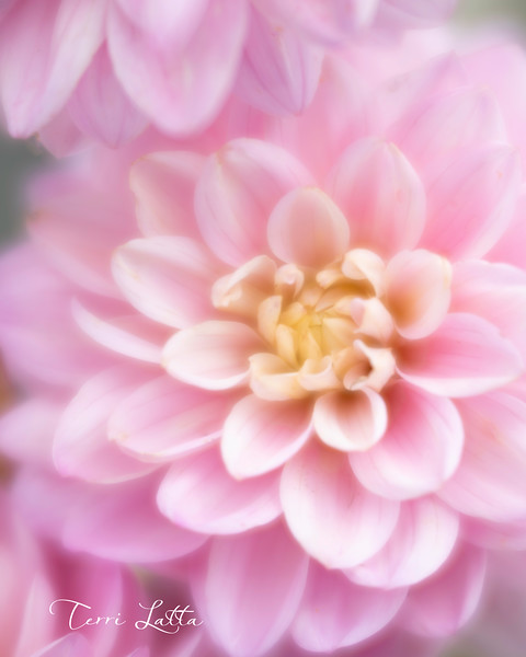 _DSC3990 pink flower 16x20.jpg