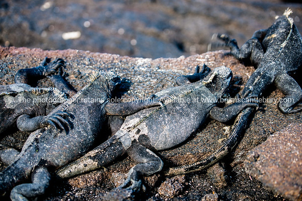 """Wildlife, landforms & landscapes of the Galapagos Islands.<br /> Marine iguana gathering. <br /> The Marine Iguana (Amblyrhynchus cristatus) is an iguana found only on the Galápagos Islands<br /> <br />  Photos, prints & downloads SEE ALSO:  <a href=""""http://www.blurb.com/b/3551540-galapagos-islands"""">http://www.blurb.com/b/3551540-galapagos-islands</a>"""