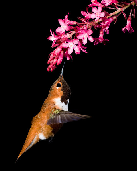 Rufous Hummingbird, one of the first native blooming plants in the spring is the Red Flowering Currant.
