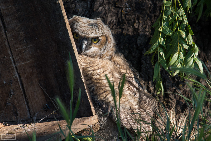 Great-horned Owl (youngster)