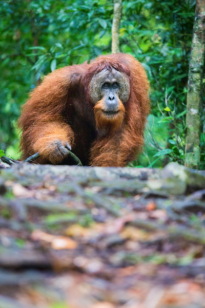 A male orangutan walking down the trail