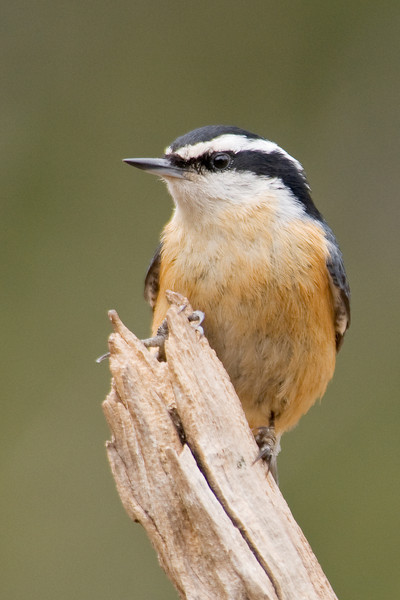 Nuthatch - Red-breasted - male - Dunning Lake, MN - 04