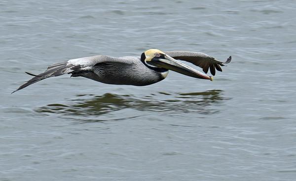 Brown Pelican Study 04-08-18