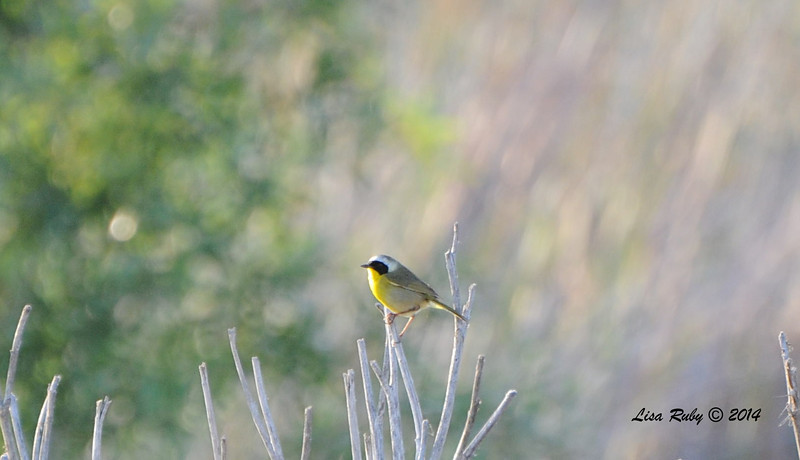 Common Yellowthroat - 5/25/2014 - San Pasqual Agricultural Trail