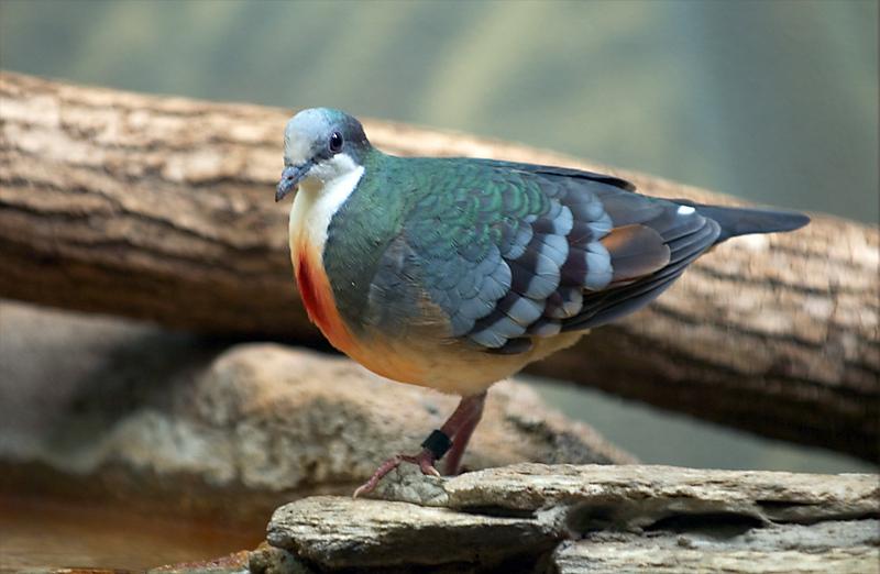 luzon-bleeeding-heart-pigeon-gallicolumba-luzonica_122674833_o.jpg