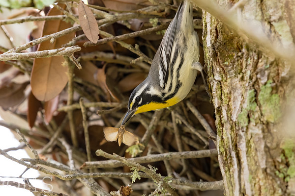 Yellow-throated Warbler Image Gallery